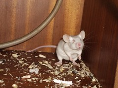 Raton (Eric Caballero) Tags: animal canon mouse eos eric raton asturias 2006 400 caballero asturies 400d