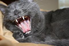 Neruda Yawns (abitiamo) Tags: cat yawn neruda greycat yawningcat canoneosdigitalrebelxti