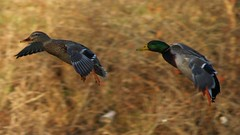 follow me in (JAMES HALLROBINSON) Tags: flying flight ducks following mallards drakeandhen