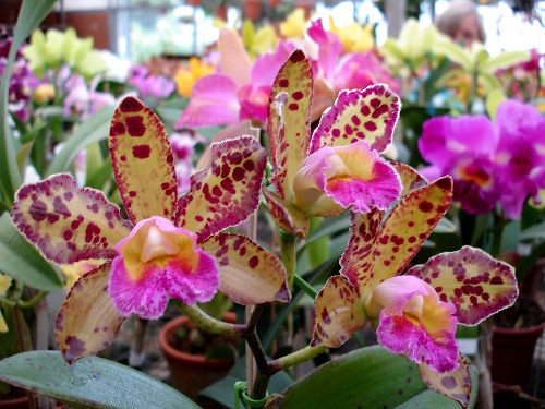 Orquídeas. por Aneleh_.