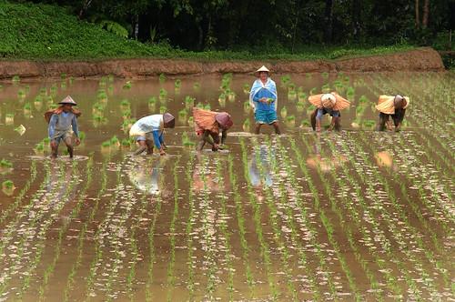 Philippines,Pinoy,Life,city,rural farm, Philippines, rice, farmer farming workers  scene, working Luisiana, Laguna