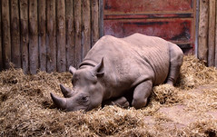 Sweet Dreams are made of these......... (sunny-drunk) Tags: animal zoo searchthebest sleep chester rhino dreams horn sweetdreams chesterzoo abigfave impressedbeauty