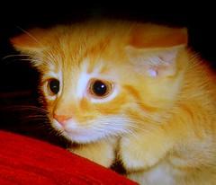 Cat attack(shrek puss in boot) (Nicolas Valentin) Tags: cute cat kitten chat kittens chatton abigfave impressedbeauty kittyschoice
