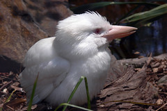 Albino Kookaburra - by Timmy Toucan