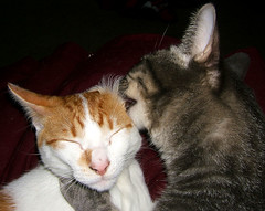 Nothing Like A Good Ear Licking.... (shesnuckinfuts) Tags: friends cats pets animals ginger cleaning ear furryfriday licking digger animaladdiction shesnuckinfuts impressedbeauty ifthataintlovewhatis