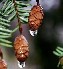 Rainy Day Mini-Pine Cone VI (mightyquinninwky) Tags: brown green rain pod dof rainyday bokeh 5 kentucky seed evergreen lexingtonky pow needles waterdroplets pinecones fontaineroad centralkentucky 1on1photooftheday shieldofexcellence chevychaseashlandparkarea 1on1bokehdofphotooftheday 1on1photoofthedayfeb2007 1on1bokehdofphotoofthedayfeb2007 1on1podmention21307 jasonpresser 11223344556677 bestofformyspacestation