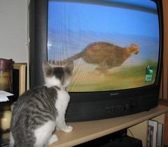where Zumi learns her skills (Malingering) Tags: cats pets cat tv kitten kittens animalplanet zumi catswatchingtv bigcatdiary