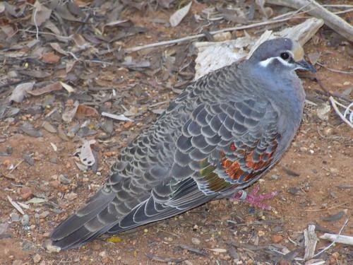 Flock Pigeon