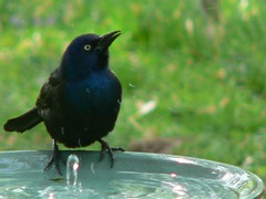 722 Common Grackle 04