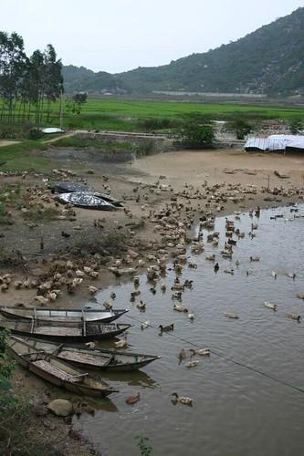 Duck farm