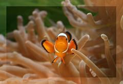 Found him!! (hvhe1) Tags: fish nature animal animals bravo nemo wildlife clownfish amphiprionocellaris interestingness3 abigfave hvhe1 hennievanheerden impressedbeauty