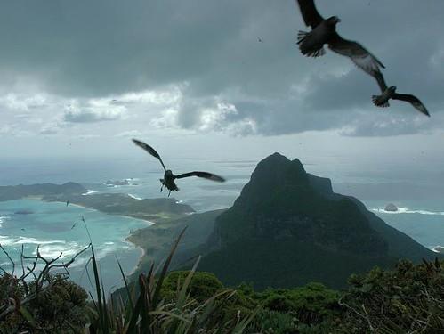 Providence Petrels, Lord Howe Island