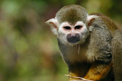 Spock the Spider Monkey (~Alexander~) Tags: animals monkey