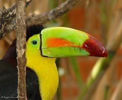 Tucn (Rogelio Guzmn-Moya) Tags: bird mxico toucan bravo pajaro puebla amazingcolors ramphastossulfuratus parqueecolgico aviario tucn specnature bej specanimal golddragon top20bokeh rogelioguzmnmoya abigfave philidor2001 goldenphotographer explore44feb52007 flickrpuebla