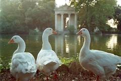 Vanitose!! (Marco Pisellonio) Tags: italy lake rome water animals goose