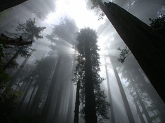 Coast Redwoods (HeroJH) Tags: morning trees light fog del creek forest coast cove branches foggy hike beam trail evergreen tall redwoods rays trunks sunbeam norte damnation godrays delnortecoast pfevergreen primevalforestgroups pfbeams pfmagic pffog pfcathedral pfspooky pfheaven pfaqua