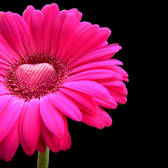 happy valentines day - pink gerbera with a hea...