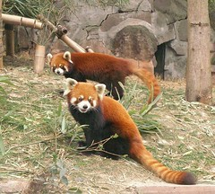 red pandas (Rex Pe) Tags: china animals wildlife redpanda chengdu sichuan zooanimals pandaresearchcenter
