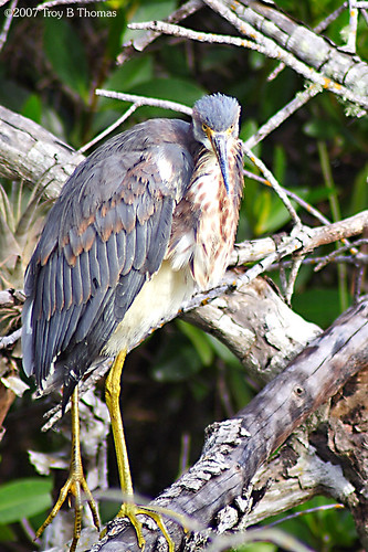 Grumpy Tricolored Heron; Photography by Troy Thomas