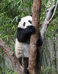 Su is adapting well to her new environment (kjdrill) Tags: california bear usa baby giant zoo cub panda sandiego bears endangeredspecies sdzoo sulin