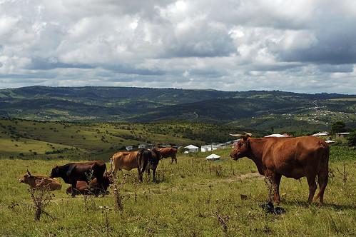 Cows Near Kei Mouth
