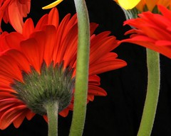 Gerberas Flowers (whoops vision) Tags: flowers red plant flower yellow petals stem bright coloured gerberas gerberadaisy splendiferous abigfave impressedbeauty