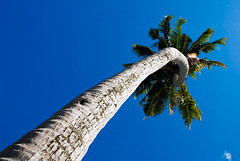 palmtree (muha...) Tags: life blue sky green island palmtree tall maldives superbmasterpiece muhaphotos