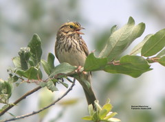 Savanna Sparrow