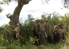 Elephant whanau (Tyger! Tyger!) Tags: travel elephant southafrica wildlife krugerpark kruger bigfive big5