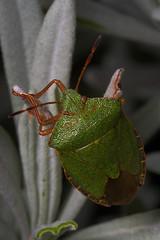 "Green Shield Bug (Palomena prasina) • <a style=""font-size:0.8em;"" href=""http://www.flickr.com/photos/57024565@N00/403497016/"" target=""_blank"">View on Flickr</a>"