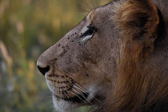 Mature male lion close-up (850mm zoom) - by Arno & Louise