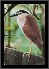 Nankeen Night-heron (Barbara J H) Tags: heron nature birds canon20d australia qld australiazoo australianbirds australianwildlife beerwah birdphotography birdsofaustralia nycticoraxcaledonicus nankeennightheron specanimal birdphotos animalkingdomelite photosofbirds wildlifeofaustralia barbarajh willdife avianexcellence