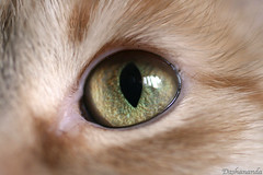 Murka's Green Eye (Dasha Gaian) Tags: green eye home cat dp murka