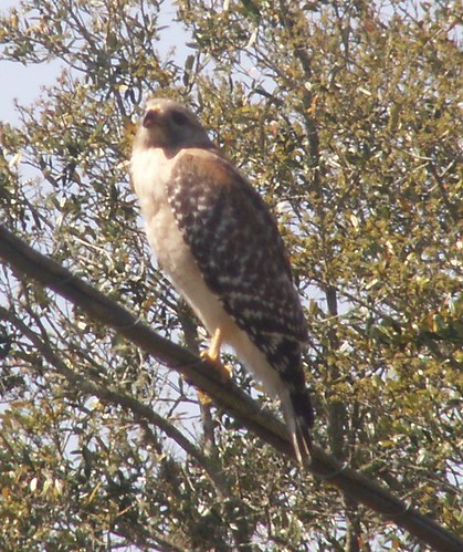Red-Shouldered Hawk, Pale Florida Subspecies 1