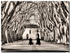 2007_0127P_Lima_trees_sp (vmribeiro.net) Tags: portugal avenida z plátanos pontedelima interestingness24 i500 abigfave
