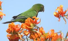 Olive-throated Parakeet (Langooney) Tags: birds jamaica parakeet digiscoping aratinga fbwnewbird fbwadded olivethroatedparakeet jamaicanparakeet aratinganana aratinganananana birdlifejamaica eupsittulanana