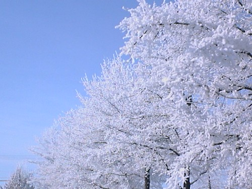 Frosty Morning Trees