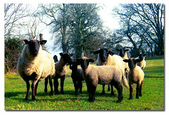 The family portrait (.finding.ireland.) Tags: new ireland green 2004 march ross spring celtic sheeps countywexford findingireland ainmhithe ssccx200 pinterest