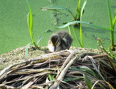 Duckling in Russia Dock Woodland