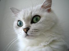 IMG_3135 (junku) Tags: cats white beautiful beauty animals japan cat tokyo kitties  hime