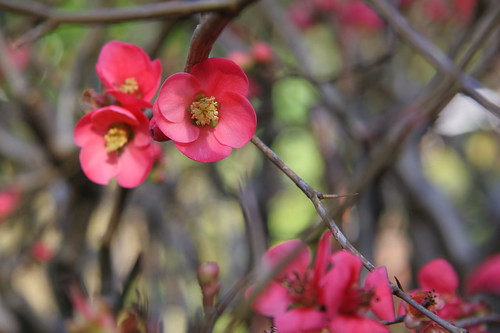 Quince flowers by webmink.