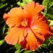 Hibiscus in Sultans park