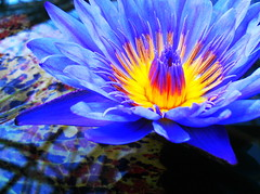 heavenly blue (M. TANIGUCHI) Tags: blue flower water yellow japan waterlily explore kachoen blueribbonwinner topogigio2007 ultrashot ultrashotultraaward