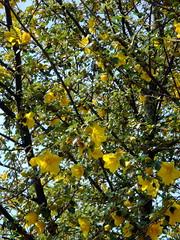 flannelbush - Fremontodendron californicum