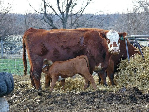 2007-03-14 - Momma & Baby Moo-Cows - 0038