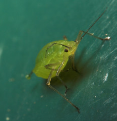"""Aphid(2) • <a style=""""font-size:0.8em;"""" href=""""http://www.flickr.com/photos/57024565@N00/423006209/"""" target=""""_blank"""">View on Flickr</a>"""