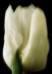Soft Tulip (Kirsten M Lentoft) Tags: white flower macro closeup head tulip e400 momse2600 kirstenmlentoft