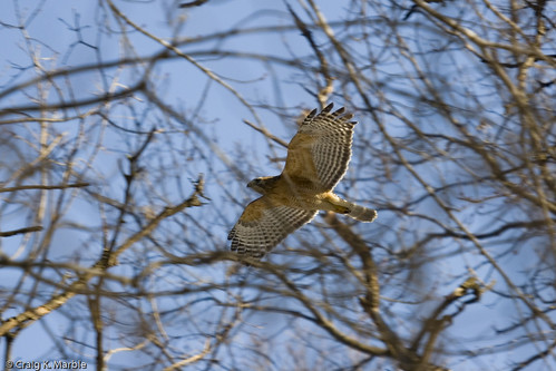 Red Shouldered Hawk in Flight 2007