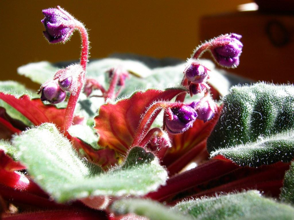 Budding violets