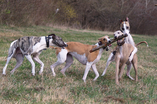 Whippetmeeting in vienna (Donauinsel)090